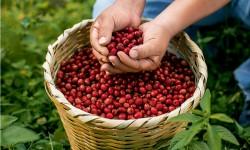 Historias de éxito del cacao y café en Chile