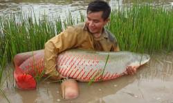 Paiche: Pescado Amazonico