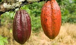 Barry Callebaut crea fundación Cocoa Horizons