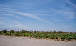 La ruta del vino Pampa del Tamarugal